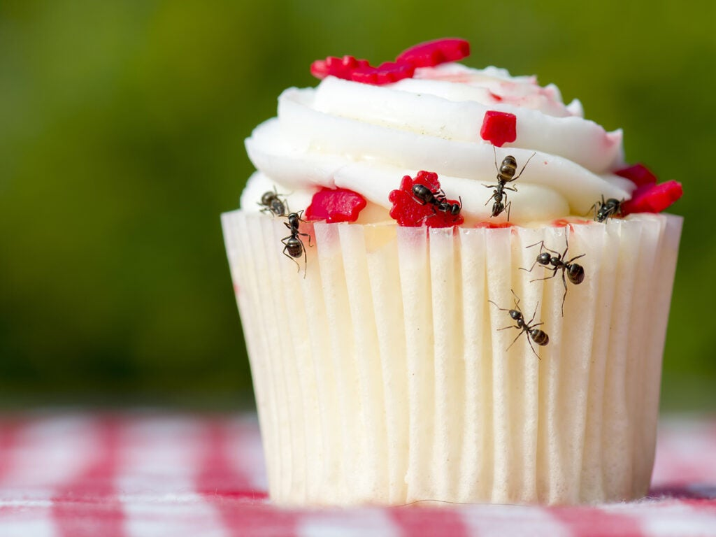 ants eating a cupcake