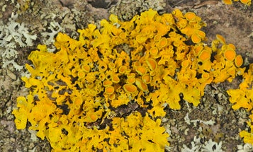 After the dinosaurs died, lichens found a way