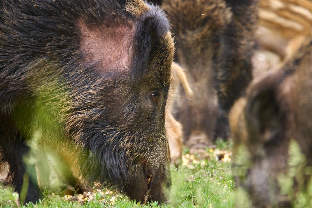 Feral pigs are ruining ecosystems across 35 states and hunting is making it worse