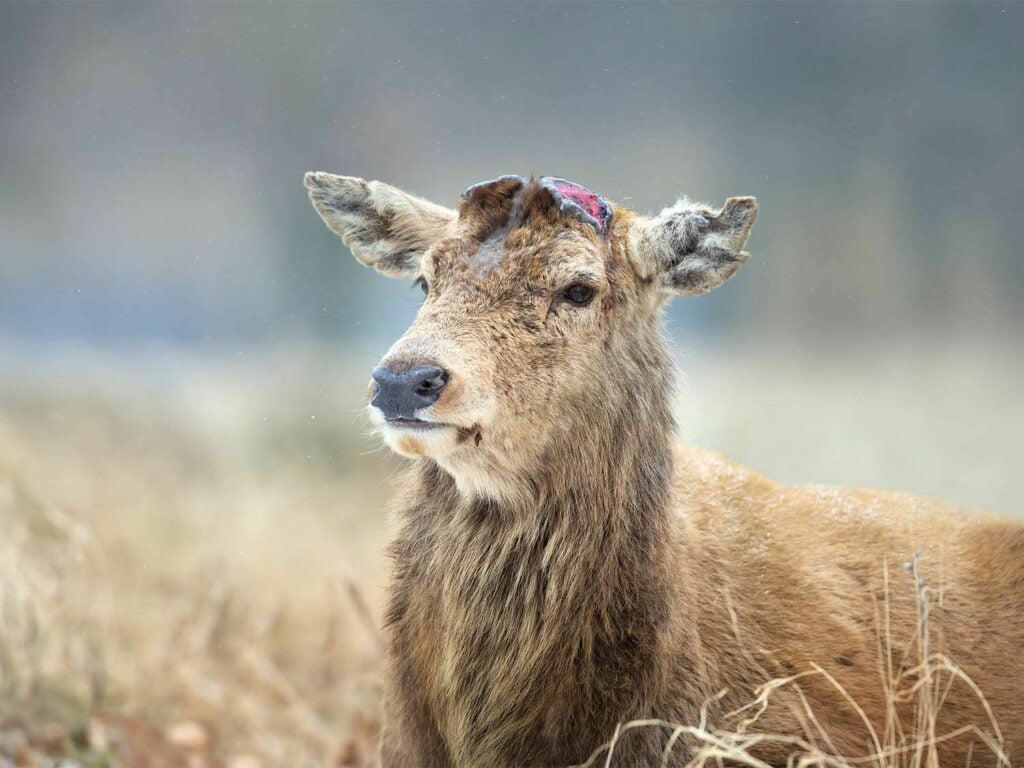 red deer after antlers have been shed