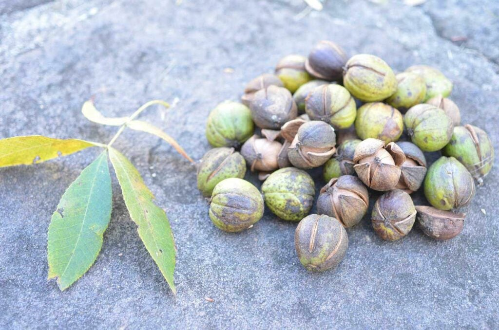 hickory nuts on a rock