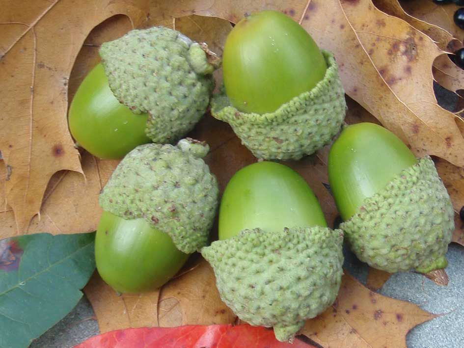 green oak acorns