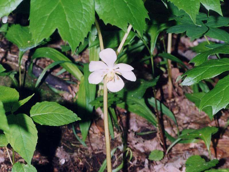 mayapple plants