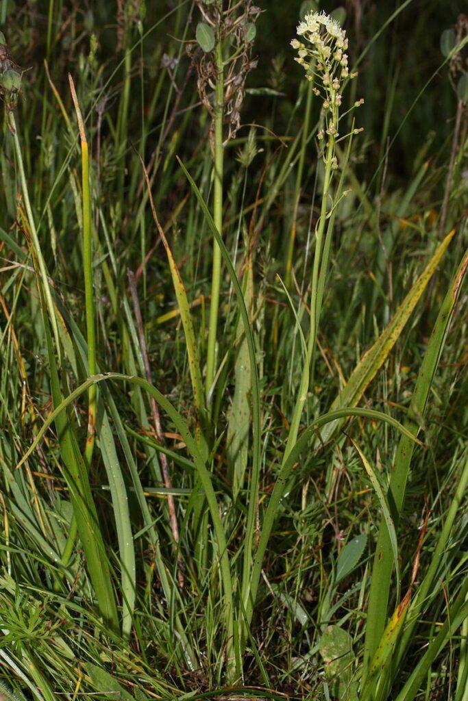 death camas plant