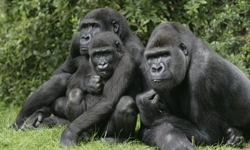 Gorillas can be cliquey, too. Here's what that says about our own social lives.