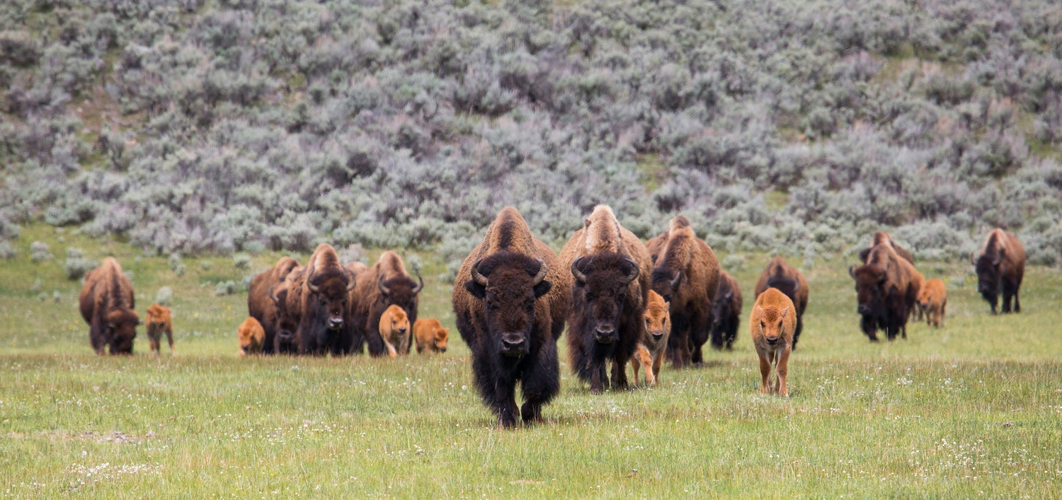 What to do if you encounter a bison
