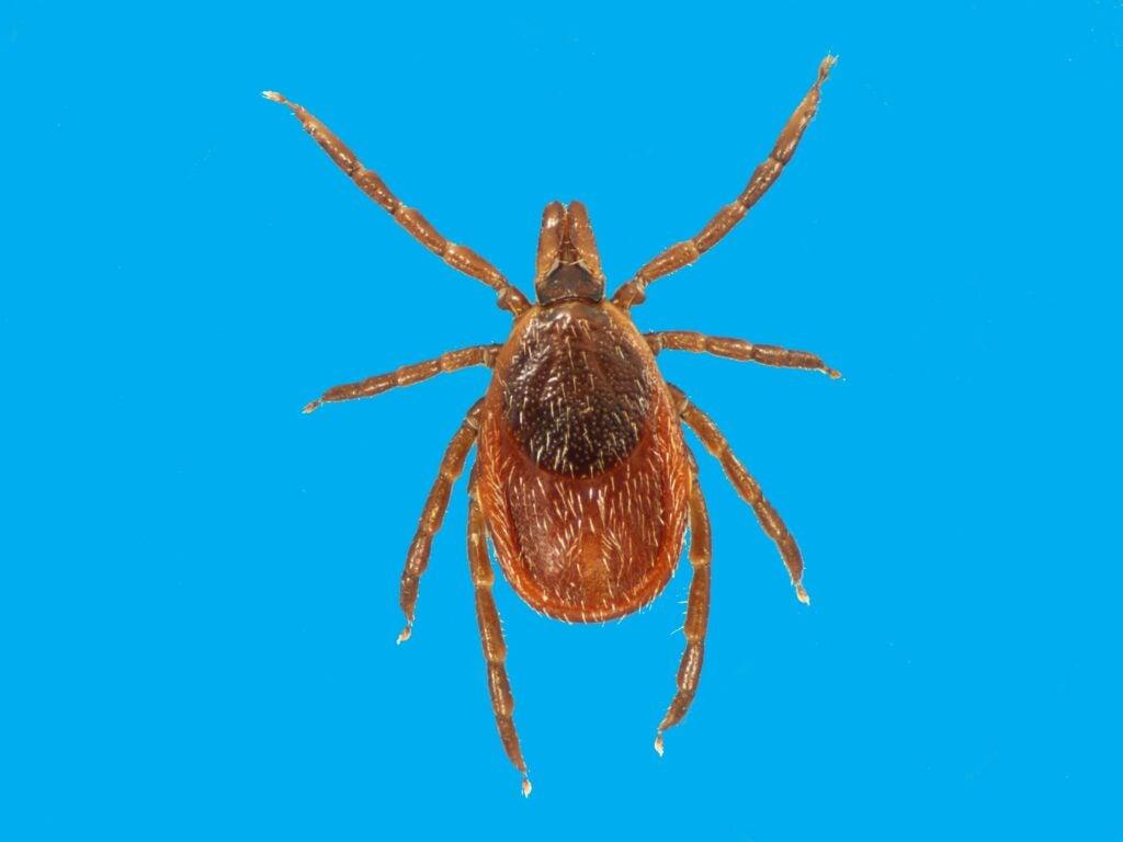 A female Ixodes scapularis tick