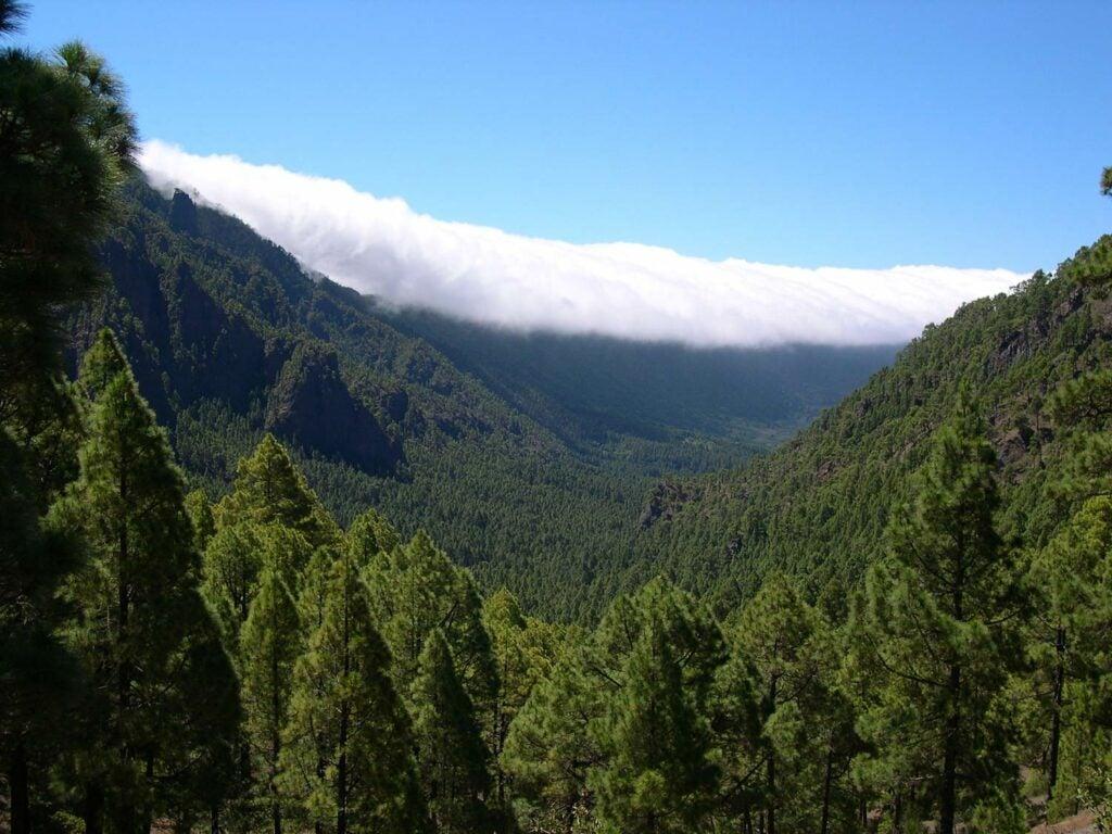 Canary Island pine trees