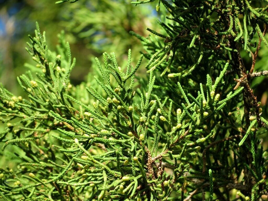 Branches of a Bermuda cedar