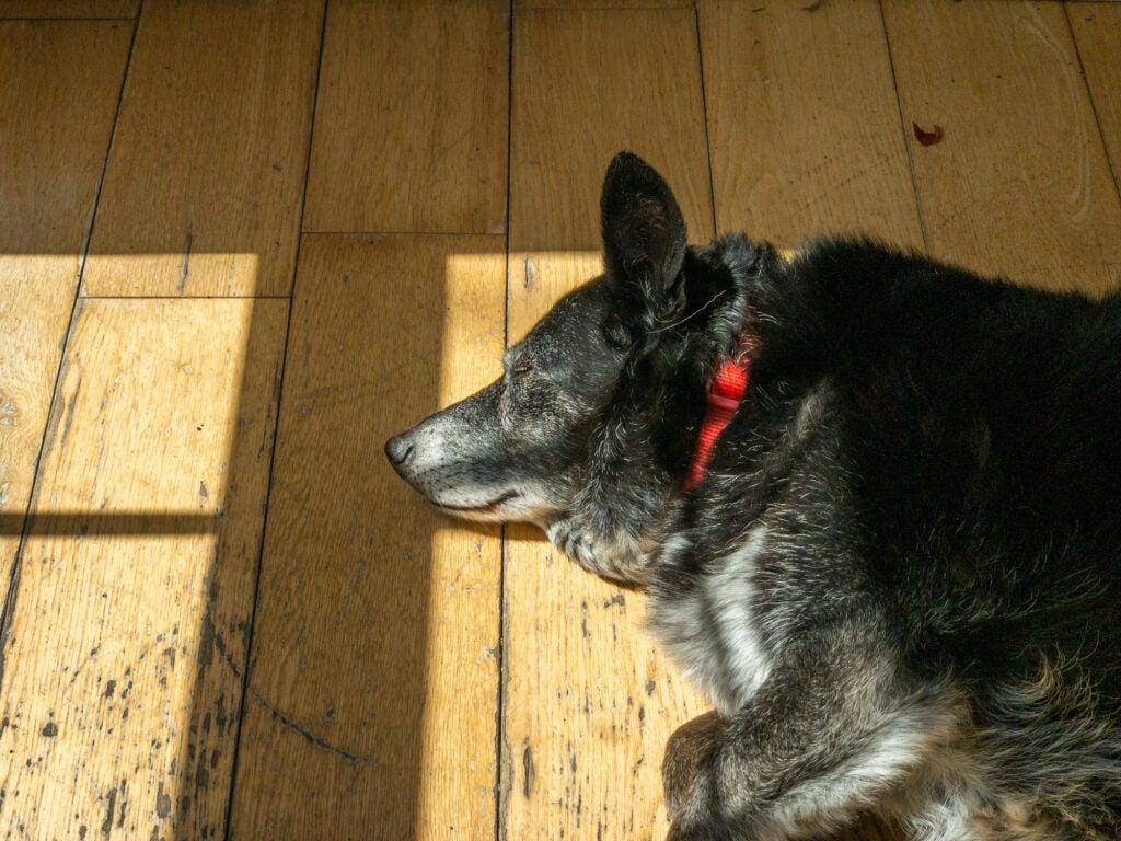 Black dog sleeping on wooden floor