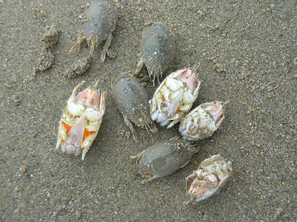 sand crabs emerita analoga