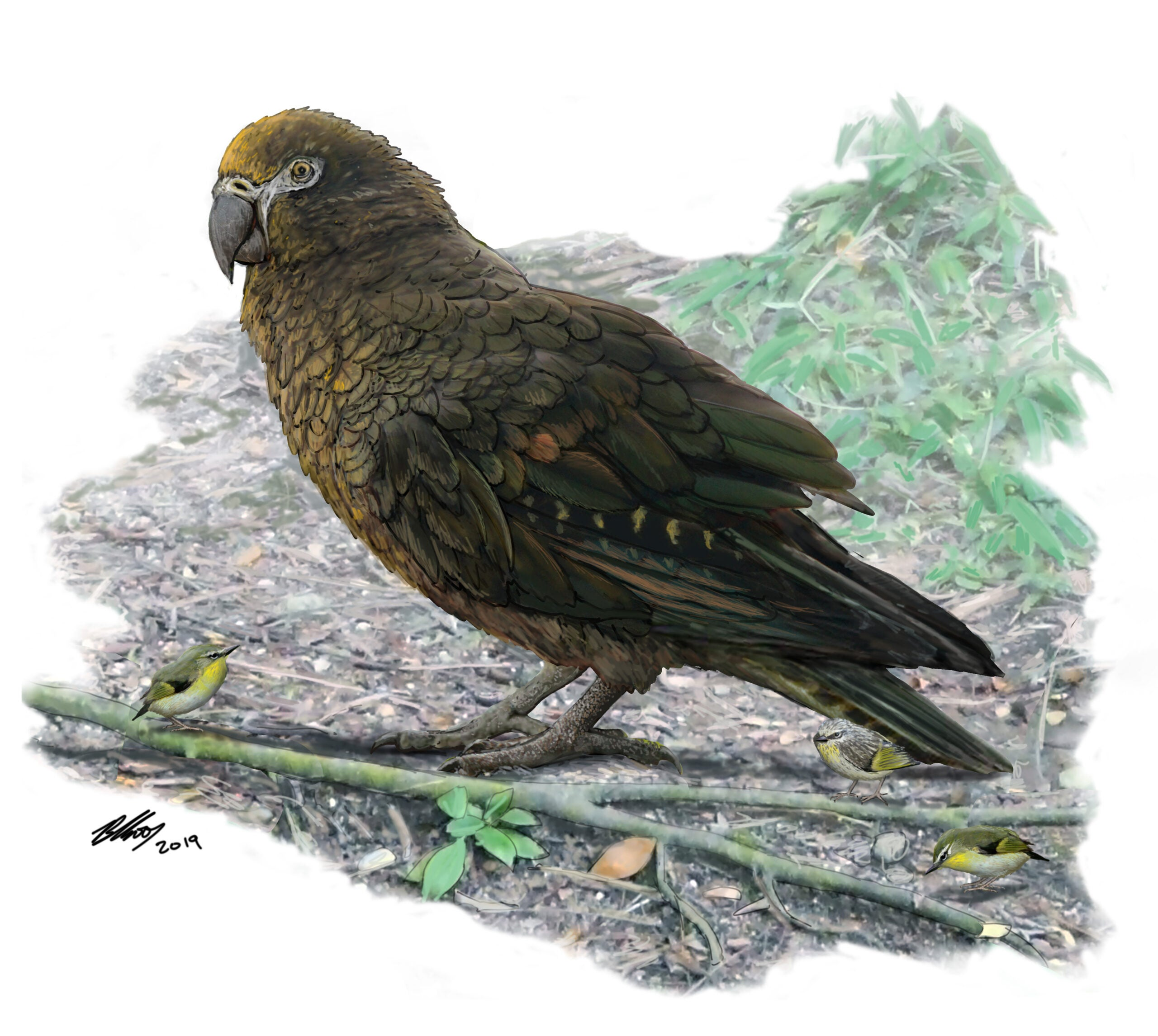 This three-foot-tall parrot proves New Zealand is the mecca of giant weird birds
