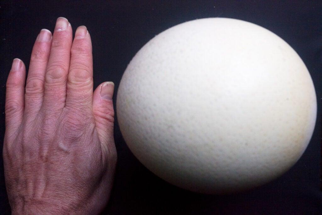 Ostrich egg next to human hand
