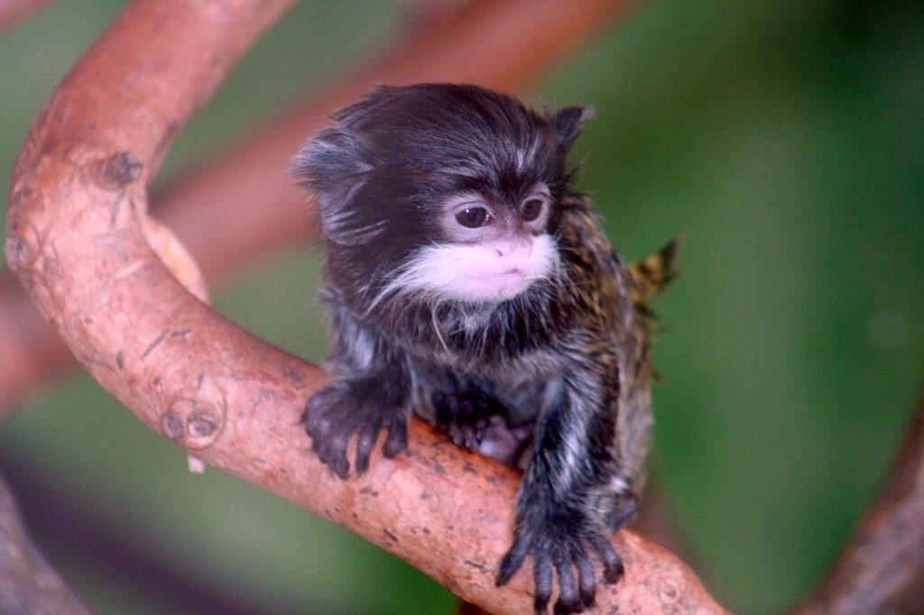 A baby tamarin