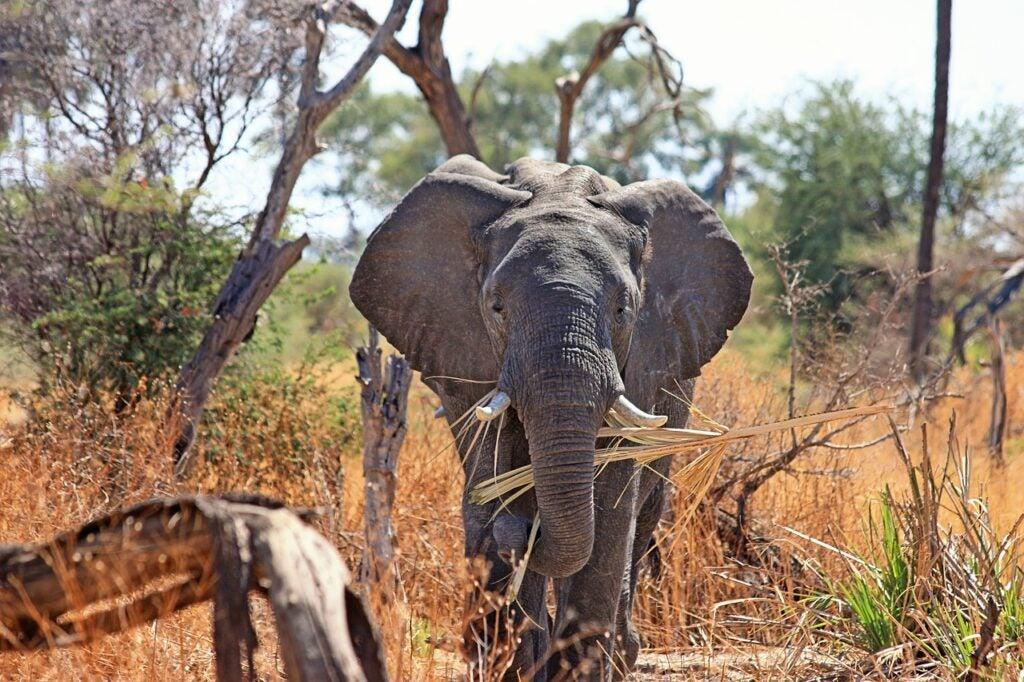 an eating elephant