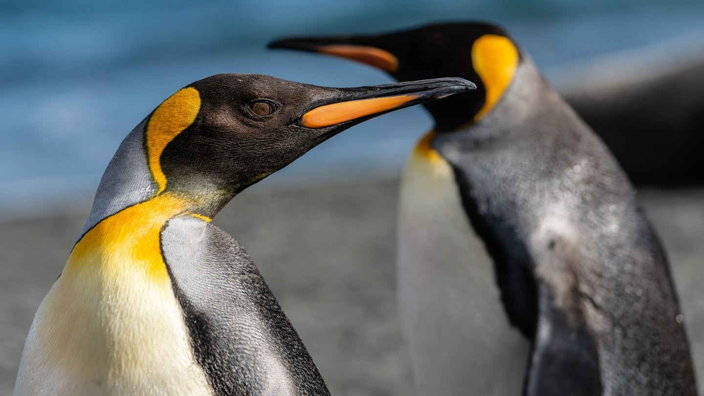 Congratulations to new penguin dads Skipper and Ping