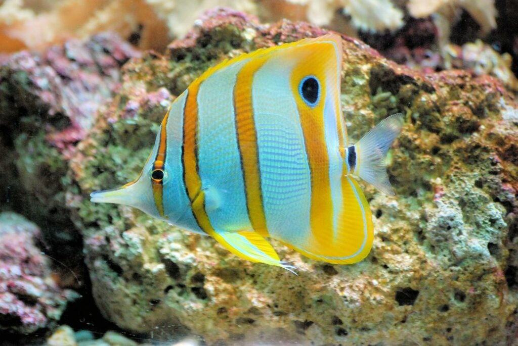 Butterflyfish swimming near coral