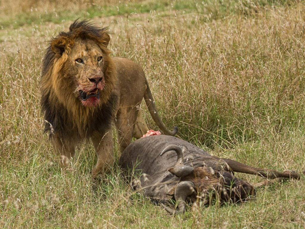 a lion feeding on a ox