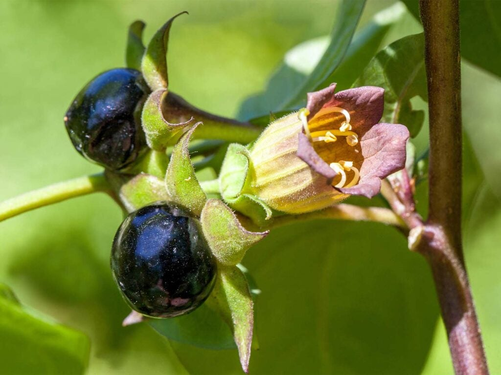 Deadly purple berries from nightshade