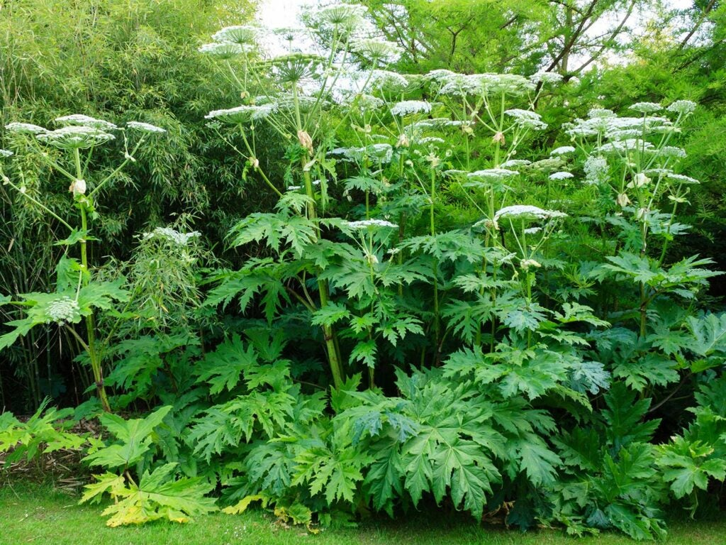 Stalks of giant hogweed in a field