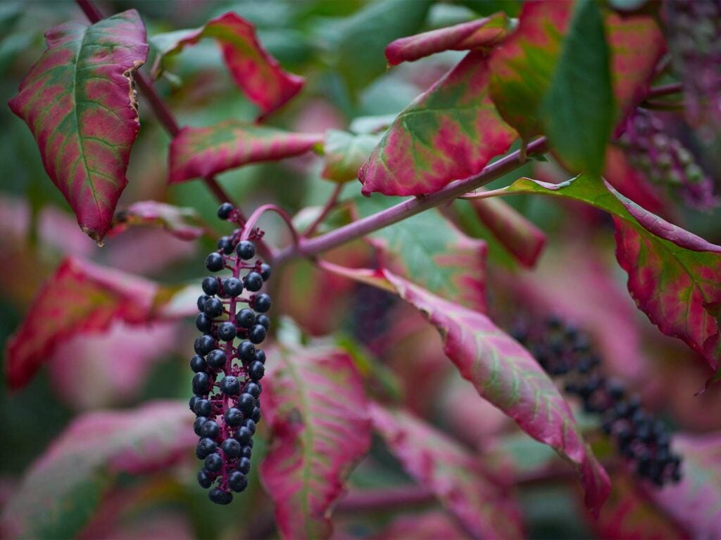 A hanging cluster of pokeweed berries
