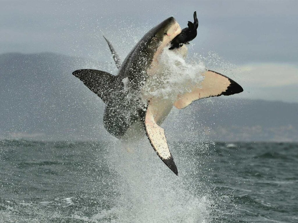 a great white shark jumping out of the ocean to attack a seal