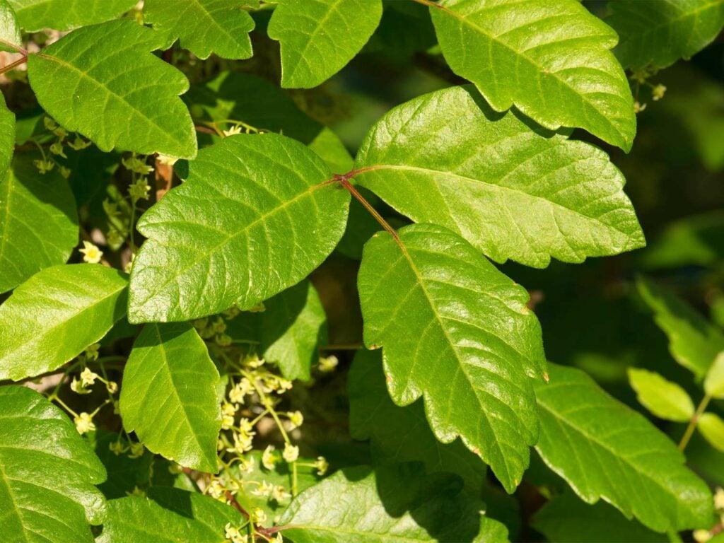 Lobed poison oak leaves