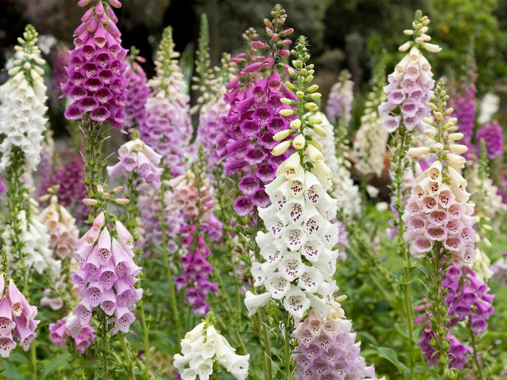White, pink, and purple foxglove flowers