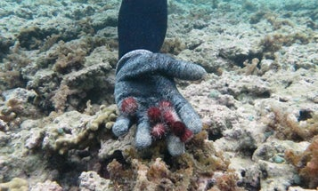 An army of hungry little sea urchins could save Hawaiian reefs