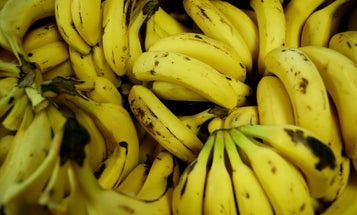 The banana as we know it is doomed