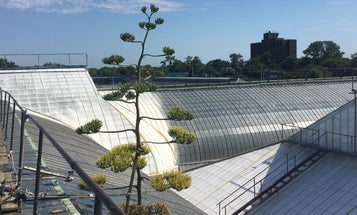 After busting through a glass ceiling, Maya the agave plant is dying as dramatically as possible