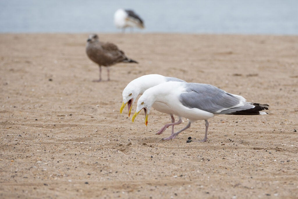 two seagulls fight for food on sandy beach