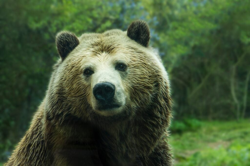 Grizzly bear looking at camera in the wild