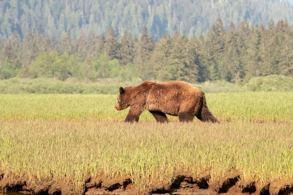 grizzly bear walking far in a meadow