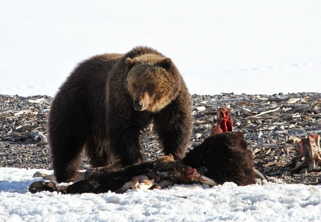 grizzly bear on snow besides the carcass of an elk