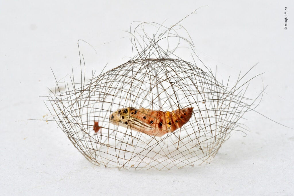 A hair-like net containing a Cyna moth cocoon