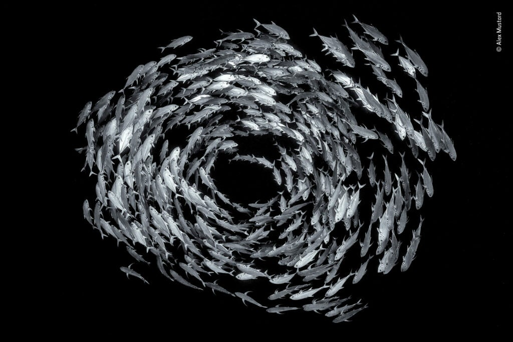 A school of bigeye trevally circling in a reef
