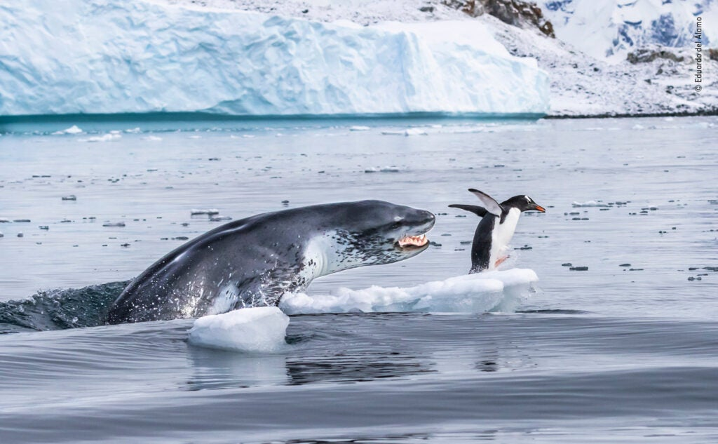 Leopard seal chasing a gentoo penguin across ice