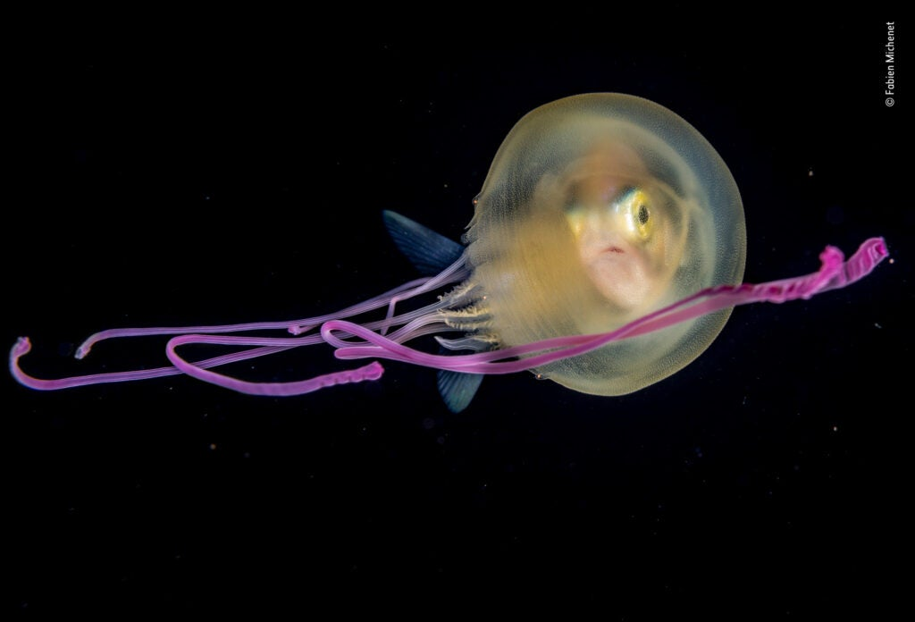A juvenile jackfish inside a translucent jellyfish