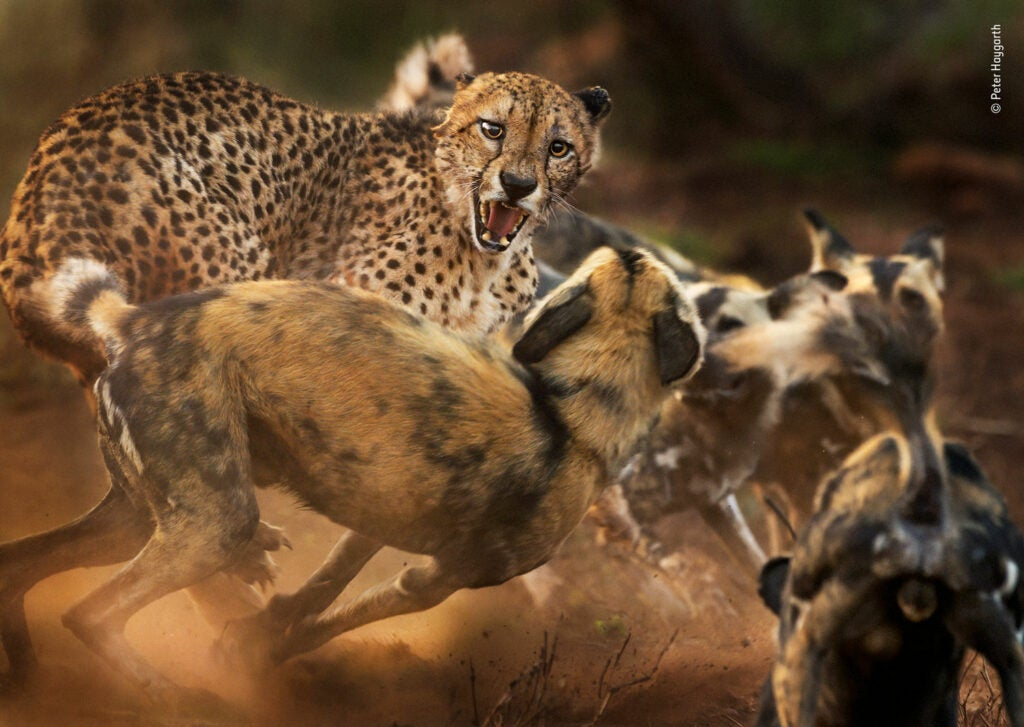 Cheetah fighting a pack of wild dogs