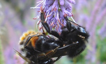 Male honeybees might blind queens to keep them hive-bound