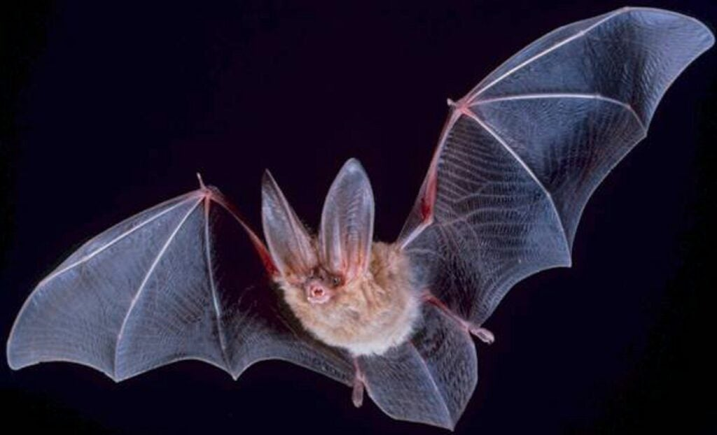 bat with wings extended