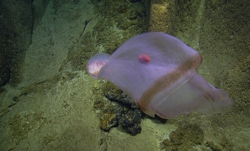 Magnificent ocean ghost stuns scientists