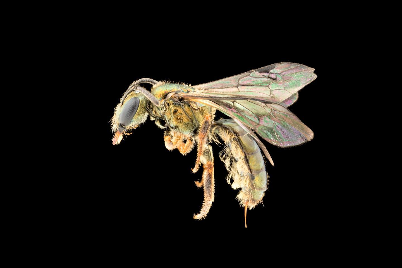 a closeup of a male black Homalictus achrostu