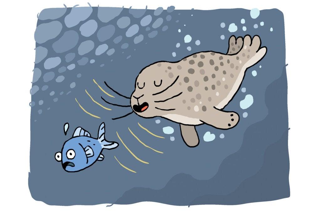 Harbor seal illustration