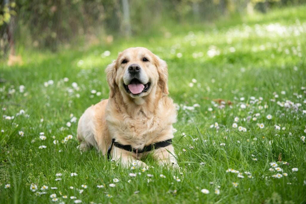 a golden retriever dog laying in grass with white flowers around it