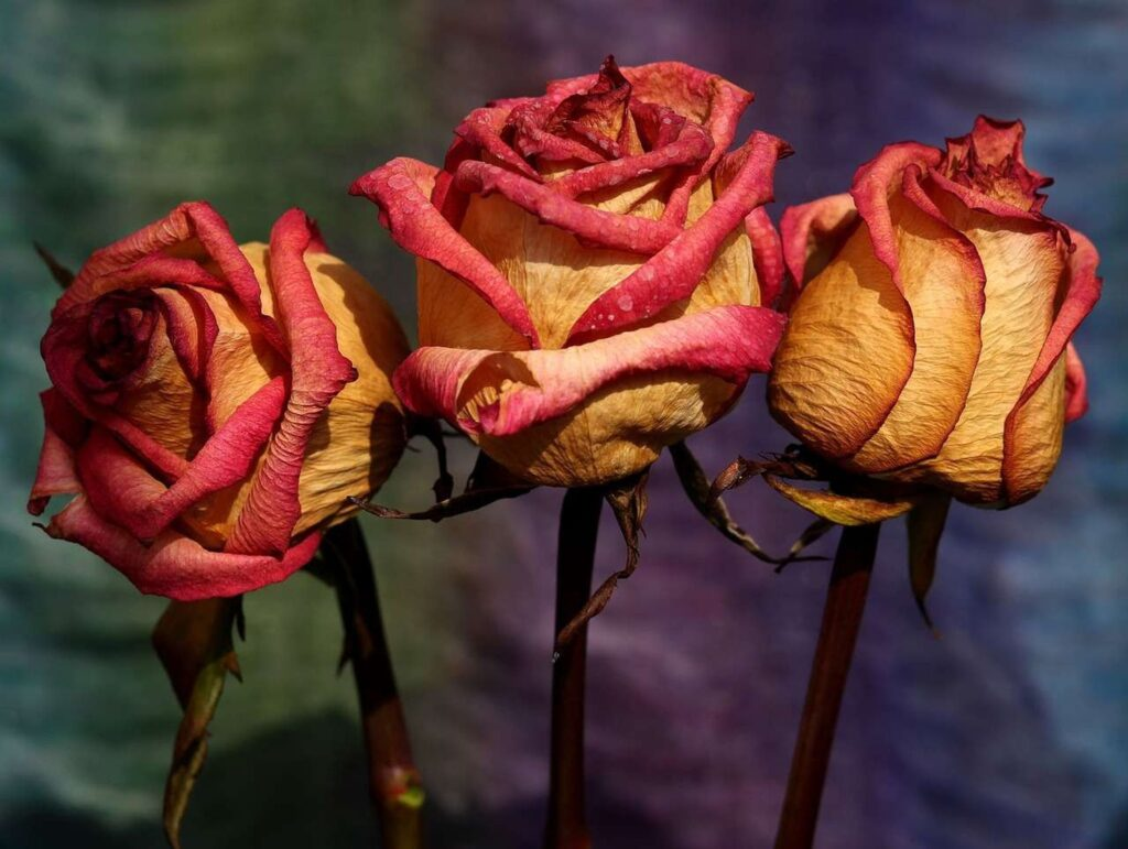 three dried roses in front of a painted background