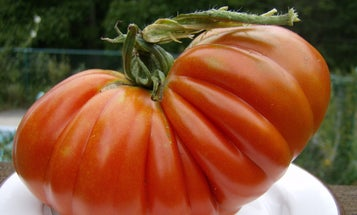 Want to grow a record-breaking tomato? Crush the competition with these six juicy tips.