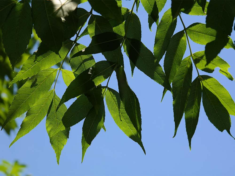 Ash tree leaves