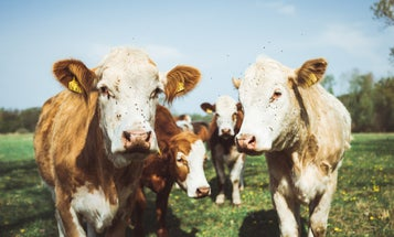 Four ways to make beef more sustainable